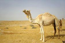 Free Camel In Sede Boker Desert Stock Photos - 3332493