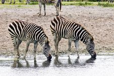 Pair Of Zebras Royalty Free Stock Image