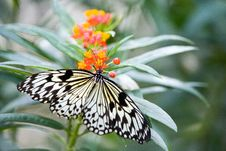 Free White Tree Nymph - Butterfly Royalty Free Stock Image - 3333346