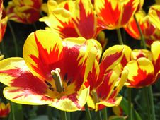 Free Red And Yellow Tulips Royalty Free Stock Image - 3333586