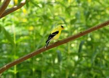 Free Finch On Branch Royalty Free Stock Photography - 3333587