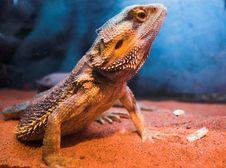 Lizard Standing On Sand Stock Image