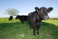 Free A Curios Black Cow Royalty Free Stock Images - 3334559
