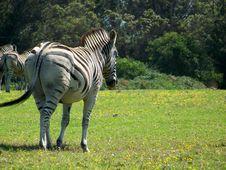 Free Zebra01 Stock Photo - 3334770