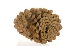 Free Cedar Cone Stock Image - 3335391