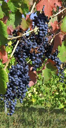 Free Grapes On A Vine Royalty Free Stock Images - 3335699