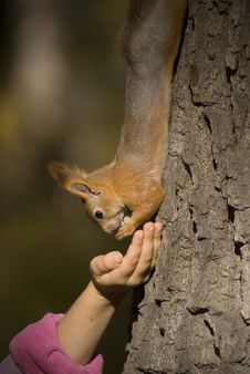Free Squirrel On The Tree Stock Photography - 3336122