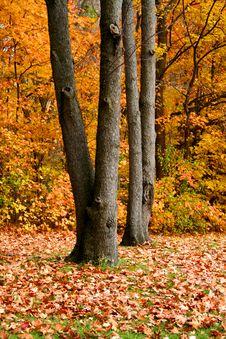 Free Autumn Trees Stock Photos - 3336323