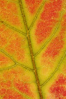 Free Red Maple Leaf Texture Stock Photography - 3336482