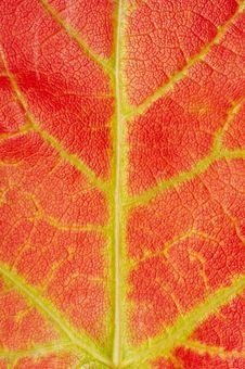 Free Red Maple Leaf Texture Stock Photography - 3336502