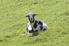 Free Black & White Goat Royalty Free Stock Photos - 3336978