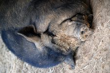 Free Napping Pot Bellied Pig Stock Photo - 3337230