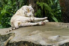 White Tiger Cleaning Itself Royalty Free Stock Photos
