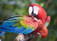 Free Parrots Cleaning Each Other Stock Photography - 3337712