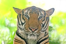 Free Tiger Stock Photography - 3337852