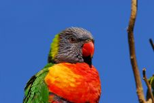 Free Rainbow Lorikeet Royalty Free Stock Images - 3338969