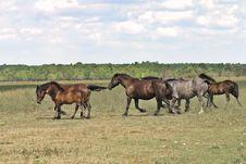 Free Running Horses Royalty Free Stock Image - 3339176