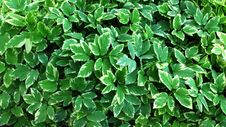 Free Green Leaves Wall. Stock Photos - 33304893