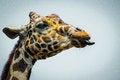 Free Giraffe Showing Its Tongue Closeup Royalty Free Stock Images - 33311799