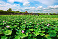 Free The Lotus Pond Stock Images - 33318354