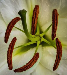 Tiger Lily Pistils And Antenna Macro Stock Photo