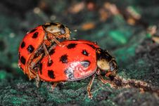 Free Two Red And Black Ladybugs Copulating Stock Photo - 33311820