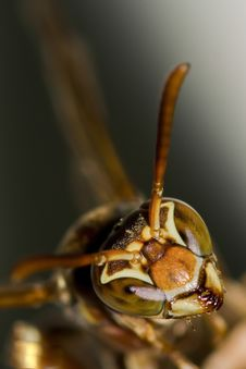 Small Wasp Head Macro Closeup Royalty Free Stock Photography