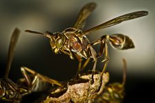 Small Brown Wasp Macro Closeup Stock Photography
