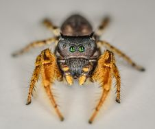 Free Small Black And Yellow Jumping Spider Macro Stock Image - 33311861