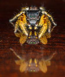 Small Black And Yellow Jumping Spider Macro Stock Photos