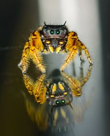 Small Black And Yellow Jumping Spider Macro Stock Image