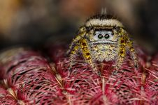 Small Brown And Yellow Jumping Spider Macro Royalty Free Stock Photos