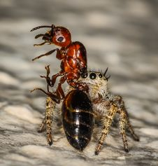 Small Brown And Yellow Jumping Spider Macro And An Stock Photo