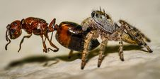 Small Brown And Yellow Jumping Spider Macro And An Stock Photos