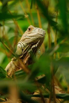 Free Common Iguana &x28;Iguana Iguana&x29; Royalty Free Stock Images - 33317179