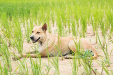 Free Cute Dog Sitting On Rice Field Stock Photography - 33319842