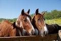 Free Horses Royalty Free Stock Image - 33323626