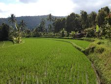 Free Rice Fields, Bali Stock Image - 33325531