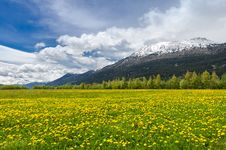 Free Alpine Field Of Hawkbits Stock Image - 33326401