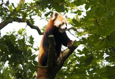 Free Red Panda Stock Image - 33327821