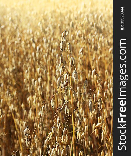 Ripe oat growing on field