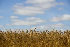 Crop Of Wheat Royalty Free Stock Photos