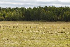 A Flock Of Geese Royalty Free Stock Photography