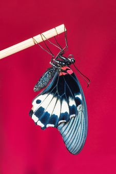 Free Great Mormon &x28;Papilio Memnon Agenor&x29; Butterfly Stock Images - 33339714