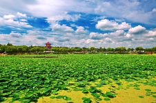 Free The Beautiful Lotus Pond Stock Photography - 33339772