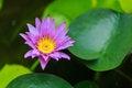 Free Lotus Purple Color Royalty Free Stock Photos - 33342958