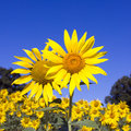 Free Sunflower Field Stock Photography - 33346292