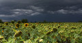 Free Sunflower With Storm Stock Photo - 33348720