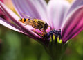 Free Hoverfly In Colorful Flower Royalty Free Stock Image - 33349616