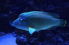 Free Wrasse Royalty Free Stock Photography - 33340167